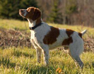 perros de caza en españa
