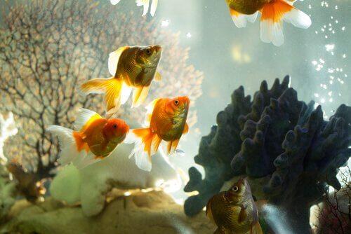 Peces de colores en un acuario. Filtros de acuario