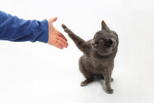 ¿Los gatos son de tu agrado? Aquí tienes 4 trucos para enseñar a tu gato a jugar juntos.