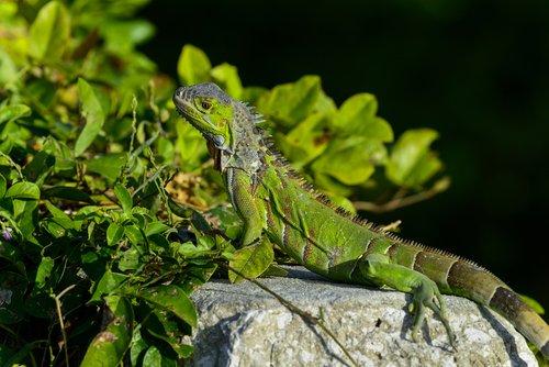 La iguana forma parte de los animales de playa