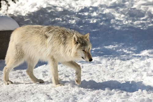 5 animales viviendo en Alaska. Lobo Gris