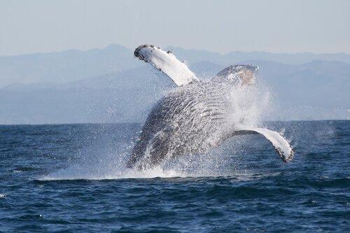 Animales que viven en Alaska. La ballena jorobada salta fuera del agua.