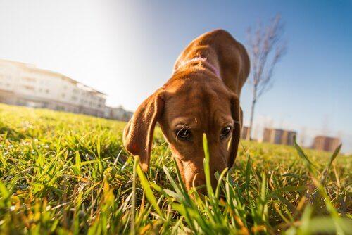 Paseo de su perro. Perro huele a hierba en el jardín.