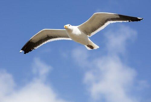 Gaviota volando en el cielo mirando hacia abajo