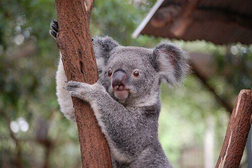 Animales. Un koala colgado de un árbol.
