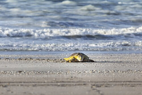 Tortuga marina en una playa, parte de los animales de playa.
