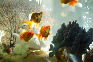 alcuni pesciolini rossi vicino a dei coralli nellacquario