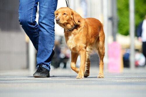 Perro paseando con su amo por la calle.